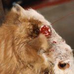 درمان عفونت شاخ گاو