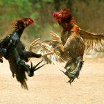 انواع نژاد خروس جنگی