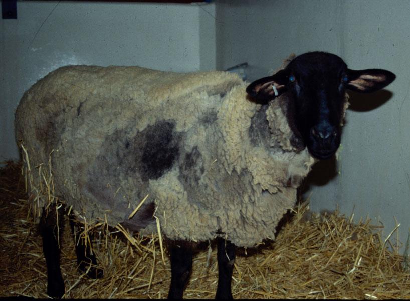 بیماری اسکرپی در گوسفندان