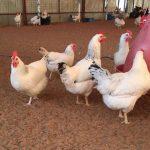مرغ و خروس برای قربانی