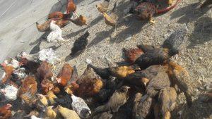مرغ و خروس سیاه