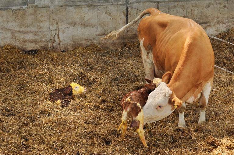 بیماری جفت ماندگی در گاو