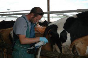 تشخیص آبستنی در گاو با توشه رکتال