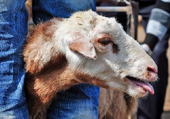 درمان سرفه گوسفندان