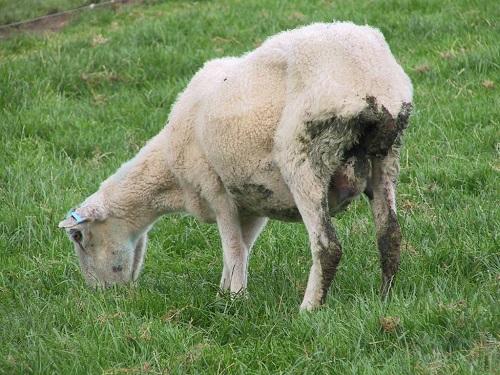 درمان بیماری اسهال گوسفندی