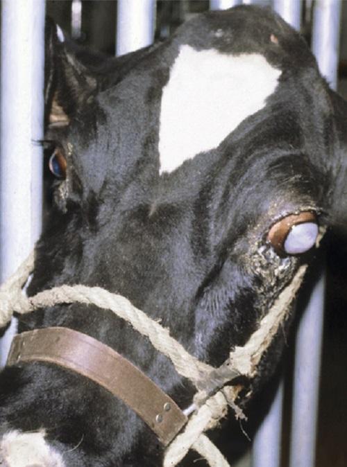 درمان بیماری چشم صورتی در گاو