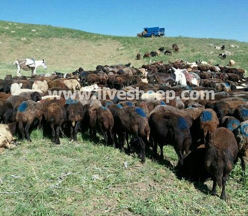 نکات مهم در پرواربندی گاو و گوسفند