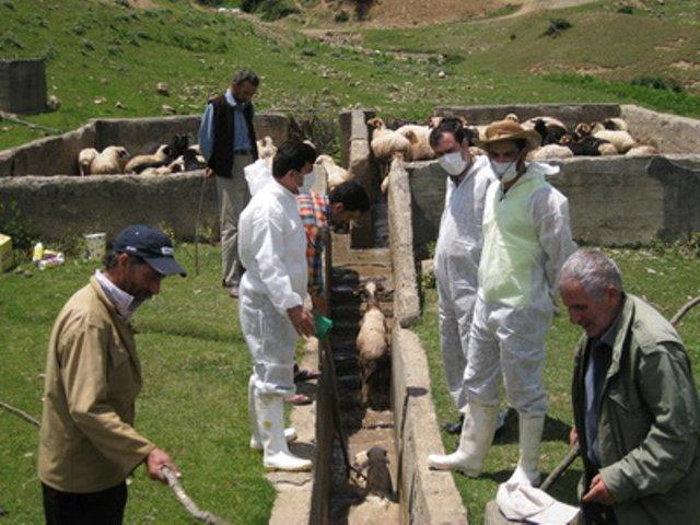 درمان بیماری بابزیوز یا پیروپلاسموز در گاو و گوسفند و بز و اسب