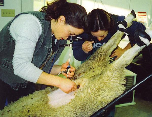 روش لاپاراسکوپ تلقیح مصنوعی گوسفندان