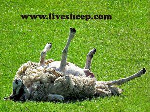 درمان نفخ گوسفندان با عصاره زیره سیاه