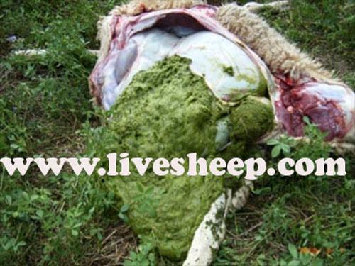 نفخ شکم گوسفندان