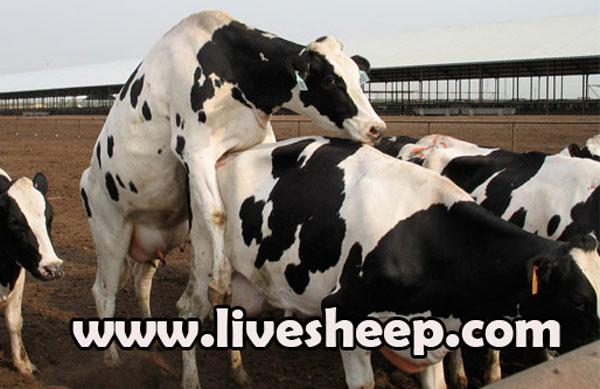 درمان عدم فحلی در گاو