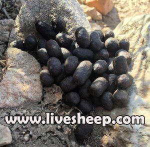 درمان یبوست در گوسفندان