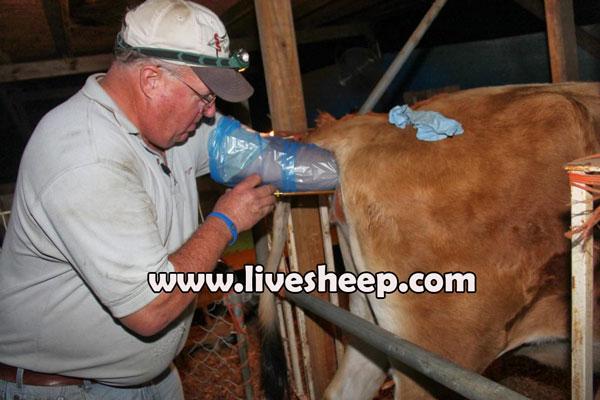 فواید تلقیح مصنوعی در گاوهای شیری