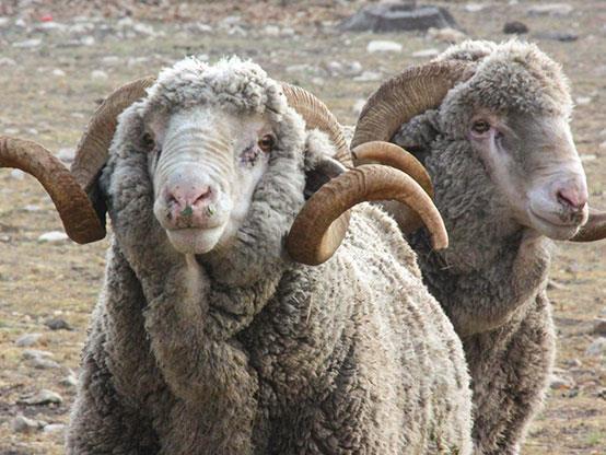گوسفند نژاد رامبویه