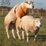 روشهای تشخیص فحلی گوسفندان