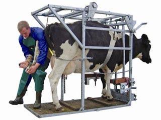 اصلاح سم در گاو شیری