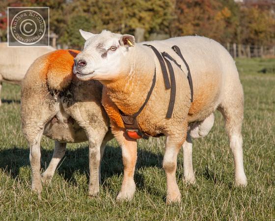 یراق نشانه گذار گوسفند