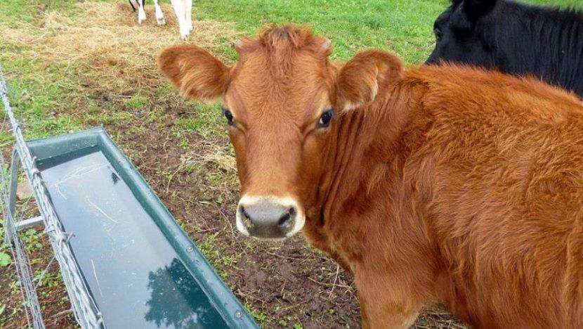 آب دادن به گوساله ها
