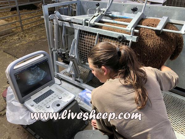 تشخیص آبستنی گوسفند و بز با اولتراسونوگرافی