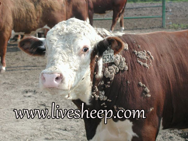 درمان بیماری پوستی زگیل در گاو