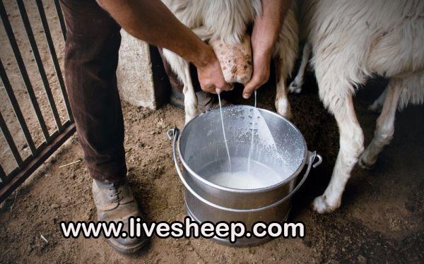 فواید و مزایای شیر گوسفند