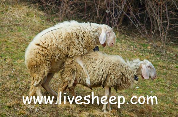 جفت گیری گوسفندان