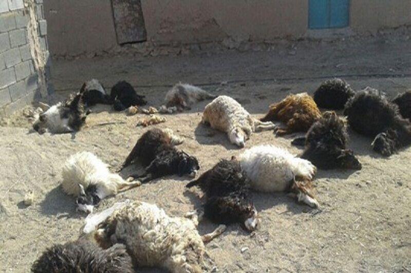 دلایل مرگ ناگهانی گوسفند و راه های پیشگیری از آن