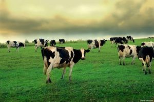 زندگی اجتماعی گوساله ها