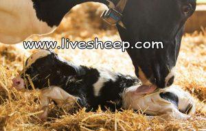 رفع مشکلات ناباروری در گاوهای شیری