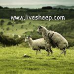 زمان قوچ اندازی و کل اندازی در گله گوسفند داشتی