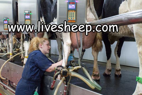 شناخت و کاربرد ماشین شیردوشی