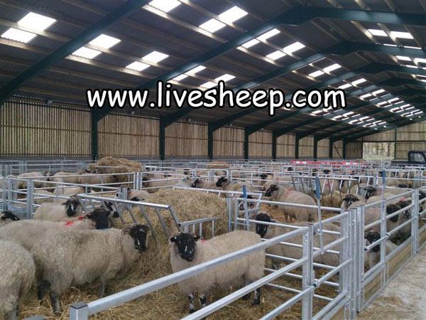 فتوپریود مصنوعی گوسفند