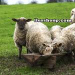 اسیدوز-گوسفندان